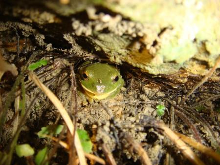 台北树蛙-青蛙夜调图片
